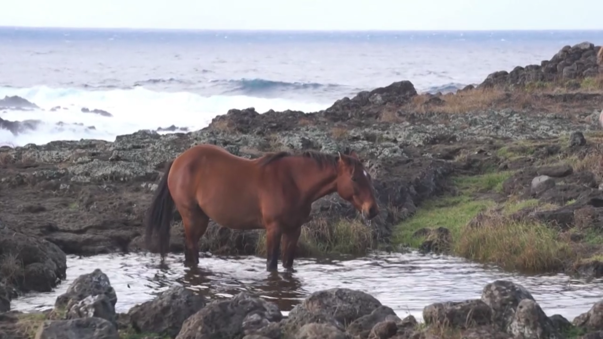 Horses of the Easter Island